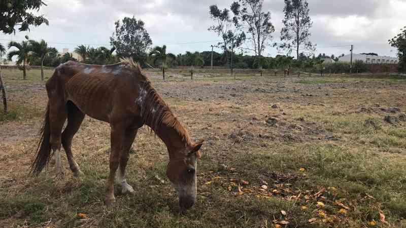 Égua que agonizou em rua de Fortaleza (CE) morre dois dias após ser adotada