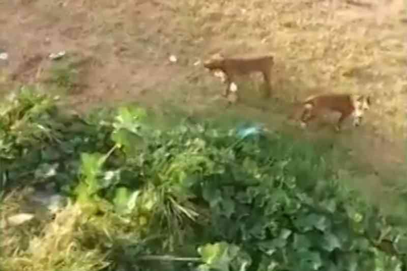 Vizinhos denunciam homem que solta pit bulls para matar gatos em Fortaleza, CE