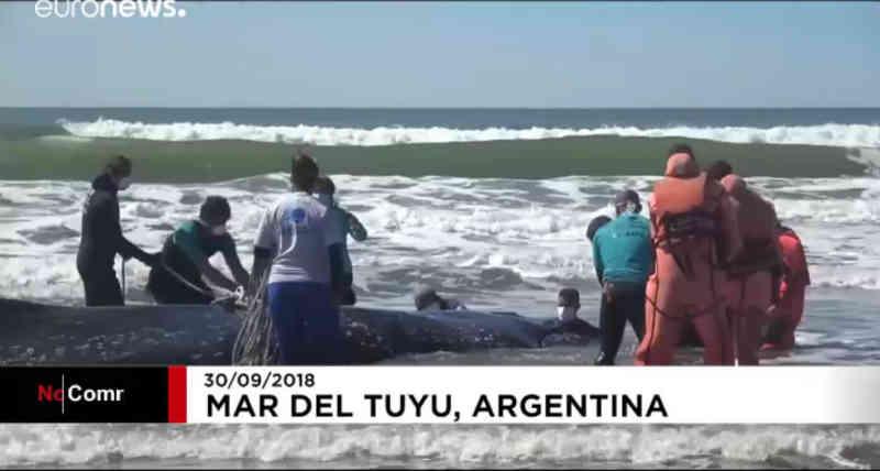 Baleia-corcunda encalha em praia da Argentina