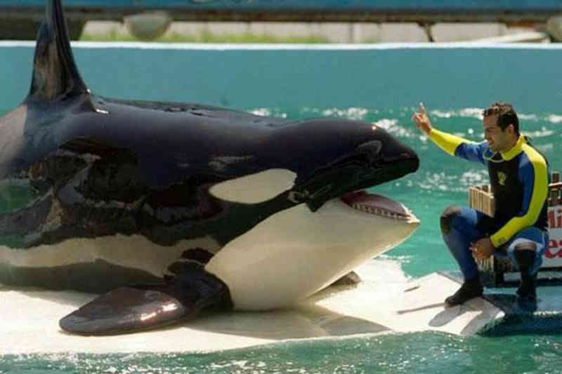 Lolita, a orca mais solitária do mundo não será libertada e ficará no aquário
