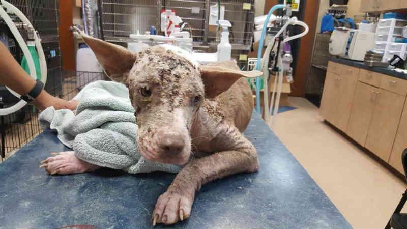 Cachorrinha escondida no canto de um abrigo que iria matá-la estava com muito medo do que aconteceria. Agora olhe para ela!