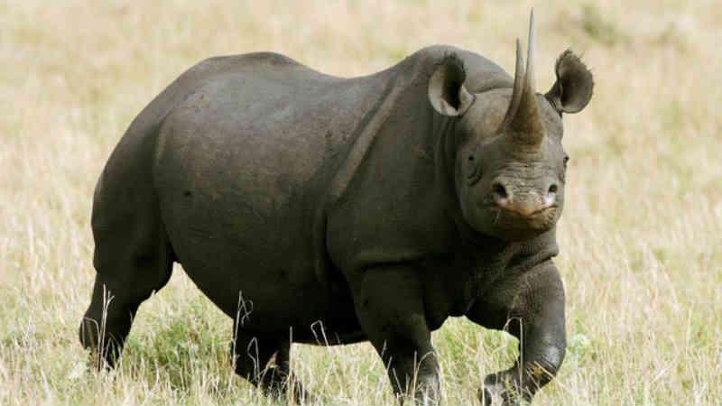 EUA pretendem aprovar a importação do rinoceronte negro morto em caçada