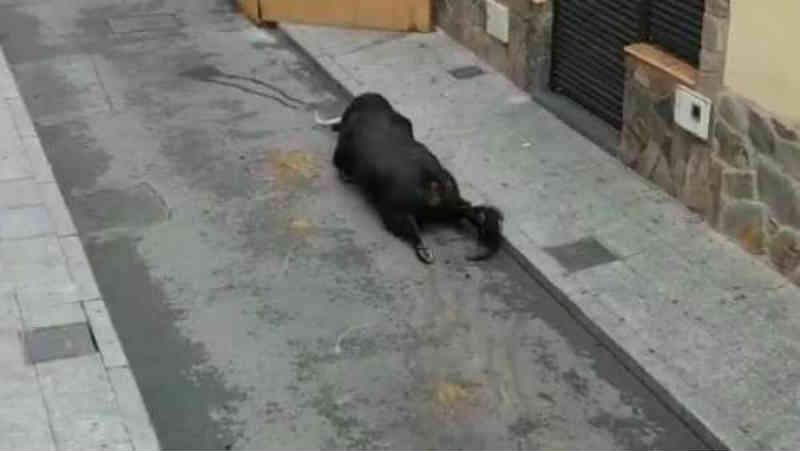 Imagens terríveis de um touro ao quebrar as patas durante os 'encierros' de Mejorada del Campo, na Espanha