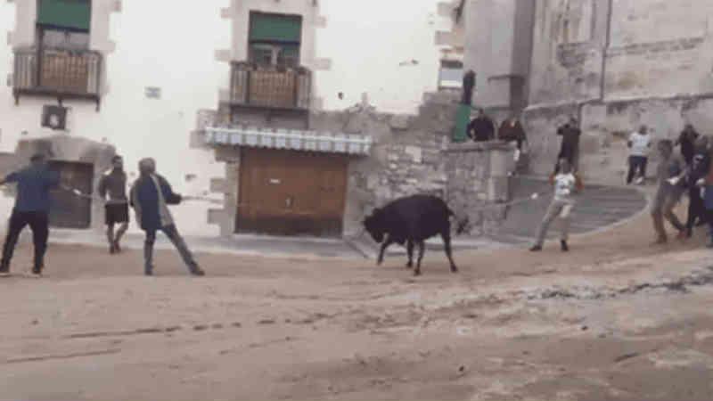 VÍDEO: novilha amarrada pelos chifres grita de dor ao tentar fugir da festa de touradas