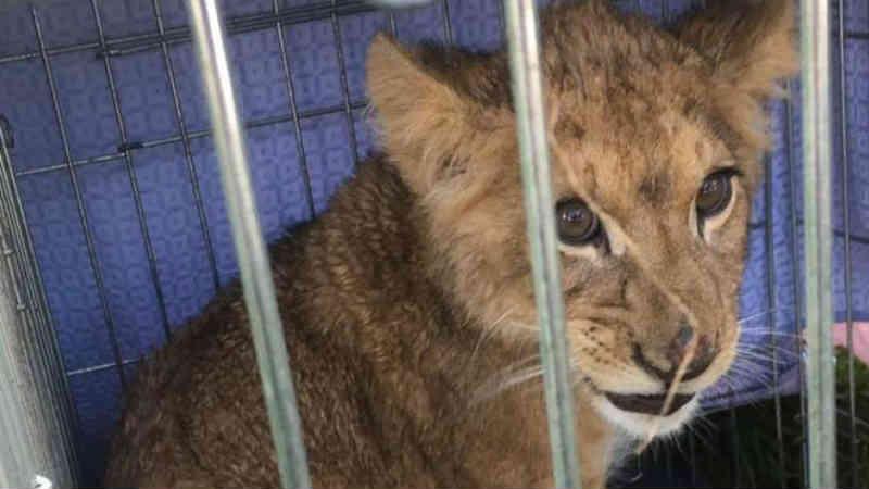 Por que filhotes de leão estão 'surgindo' em plena Europa?