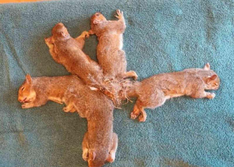 Filhotes confusos de esquilos não faziam ideia de como ficaram tão emaranhados