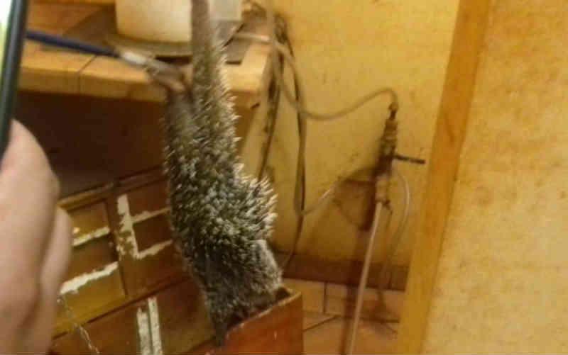 Ouriço é resgatado dentro de usina em Santa Helena de Goiás, GO
