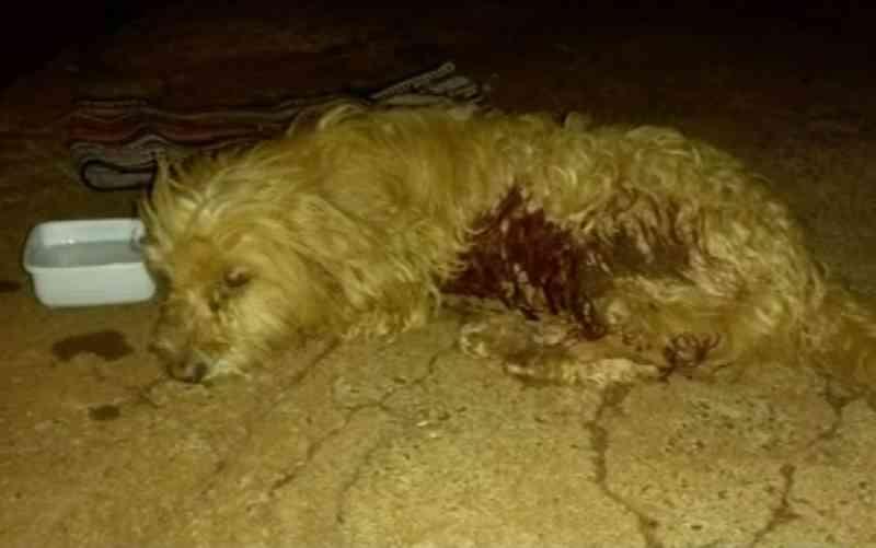 Autônomo resgata cachorro baleado em rua e procura alguém que possa adotá-lo, em Itumbiara, GO