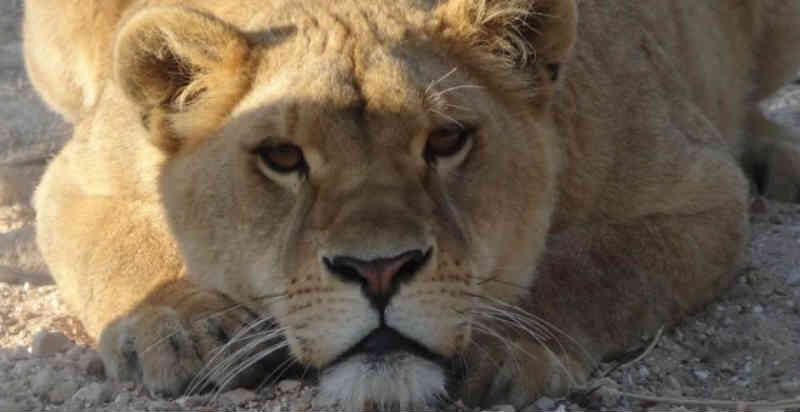 A leoa que escapou de uma vida no circo para retornar à África
