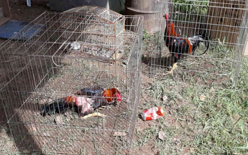 Polícia descobre rinha de galos em Matozinhos, na Grande BH