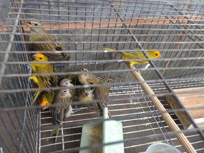 Morador de Ituiutaba (MG) é autuado por manter pássaros em cativeiro sem autorização