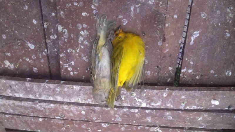 PMA prende e autua em R$ 5 mil infrator que mantinha 10 pássaros em cativeiro em Aparecida do Taboado, MS