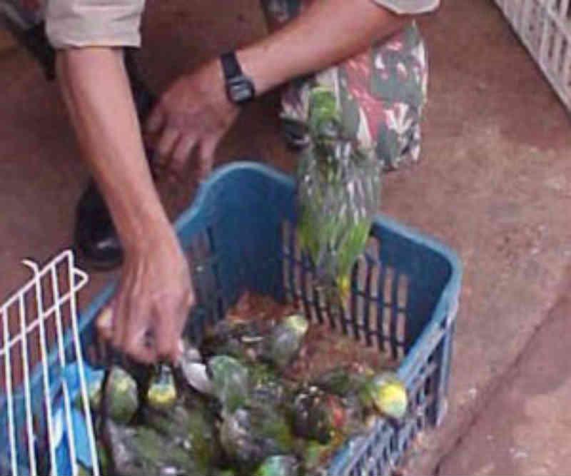 PM e Ibama finalizam operação preventiva contra o tráfico de papagaios em MS