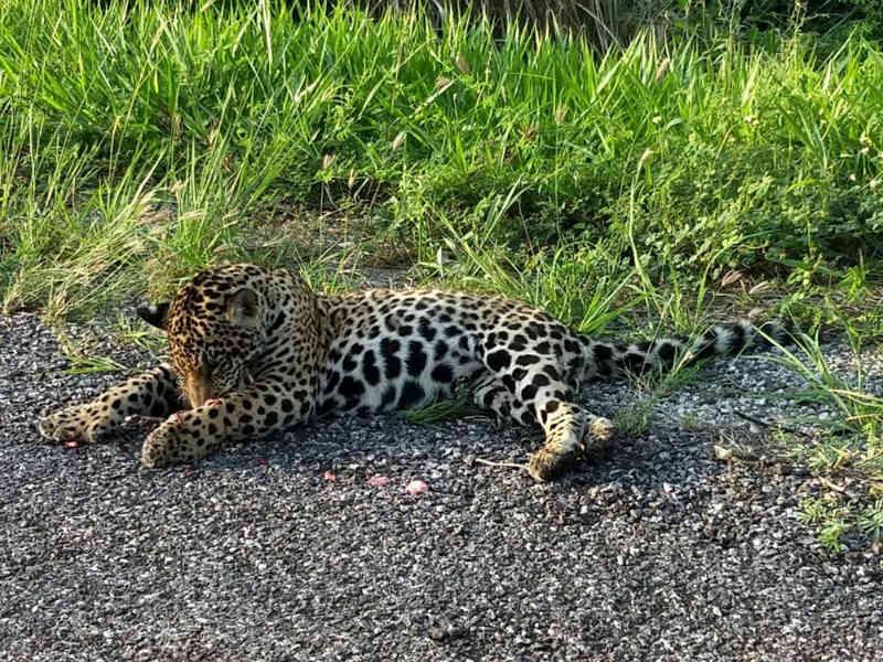 Professor flagra onça morta em rodovia: 'Tristeza em ver um animal tão bonito assim'