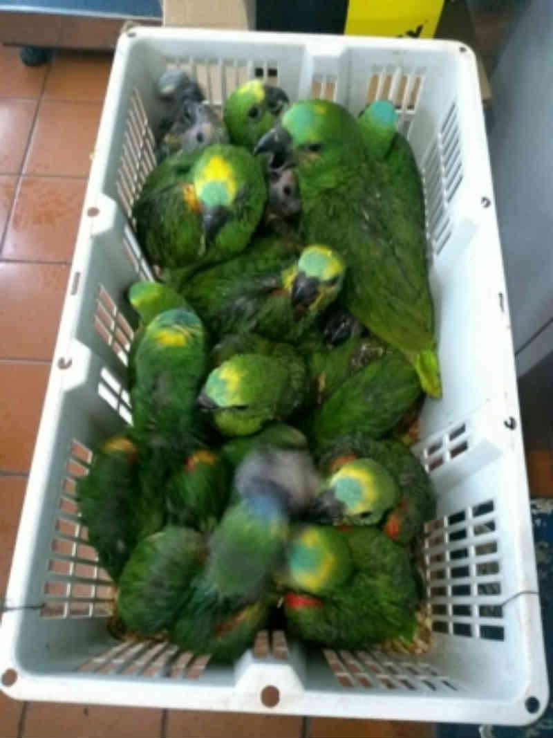 Casal é autuado em R$ 24 mil por tráfico de papagaios em Ivinhema, MS