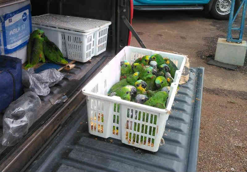 Vídeo: PMR prende casal transportando filhotes de papagaios entre Ivinhema e Nova Andradina, MS