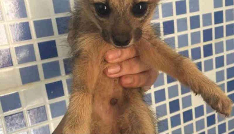 Dois filhotes de raposa são resgatados e três morrem após chuva alagar toca, em Rio Brilhante, MS