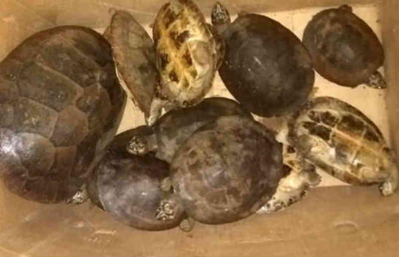12 tartarugas são apreendidas pela Polícia Militar em São Félix do Araguaia, MT