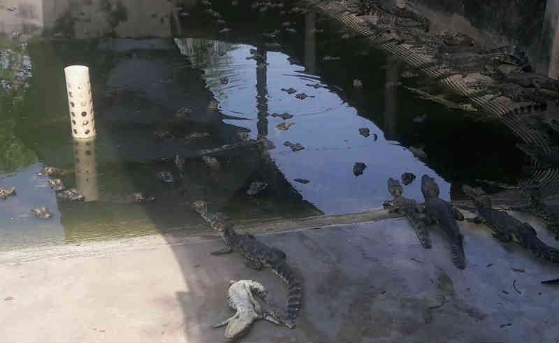 Denúncia aponta canibalismo entre jacarés por falta de comida e criadouro é interditado no Pantanal de MT