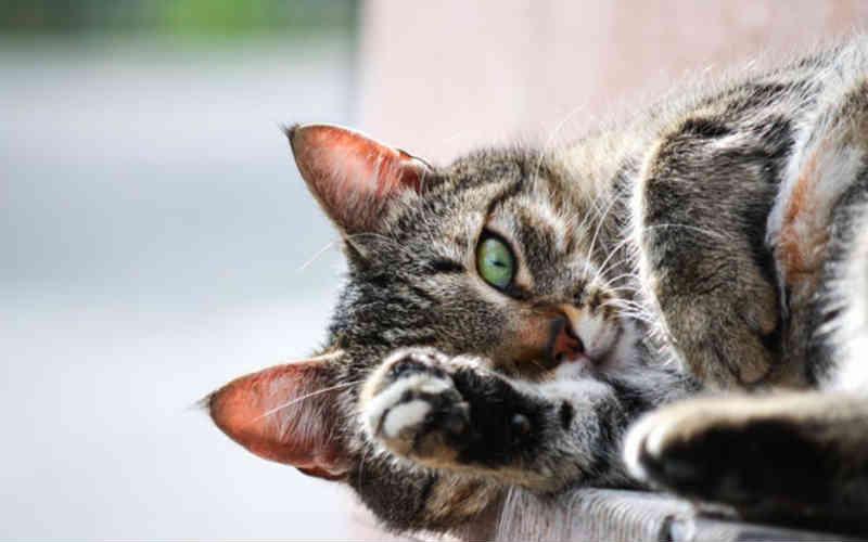 Canadá: Nova Escócia proíbe retirada de garras de gatos, corte de orelhas, desvocalização e o corte parcial da cauda!