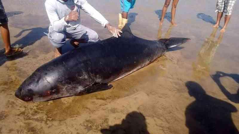 Filhote de baleia morre enrolado em rede de pesca em praia de Colares, no Pará
