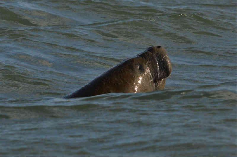 Peixes-bois terão espaço para readaptação em ambiente natural no litoral da PB