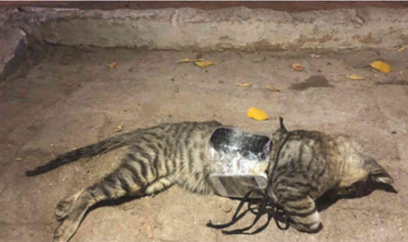 Gato que levava celular para presos morre eletrocutado no Sertão da Paraíba