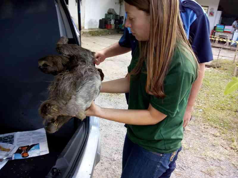 Bicho-preguiça leva choque elétrico, cai de árvore e tem que ser sacrificado no Recife