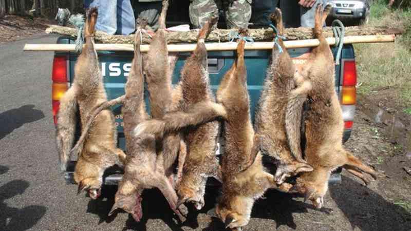 Partidos e petição querem abolir caça à raposa em Portugal. Lei permite até morte à paulada