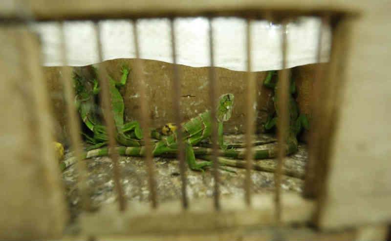 Homem mantinha aves, macacos e iguanas em situação de maus-tratos em Curitiba, PR. Multa é pesada!