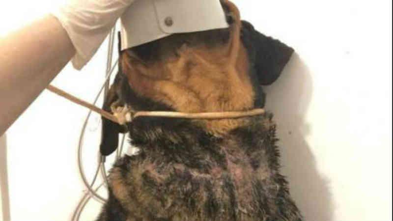 Cão que ficou um mês sem água e comida é resgatado em Umuarama, PR