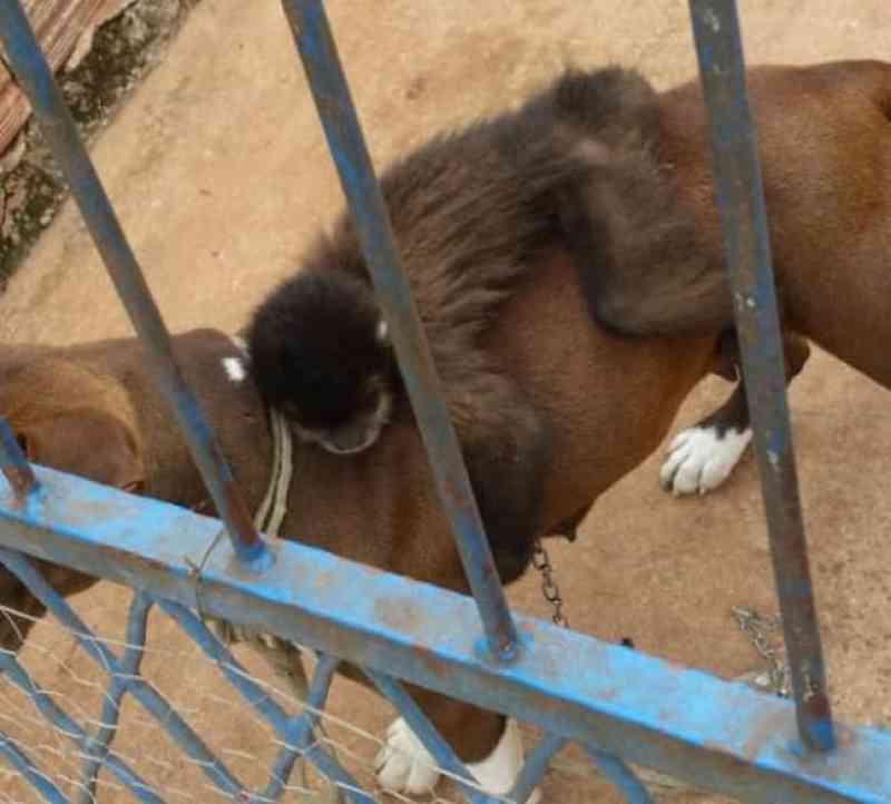Macaco-prego é achado acorrentado a cachorro em Apucarana, PR