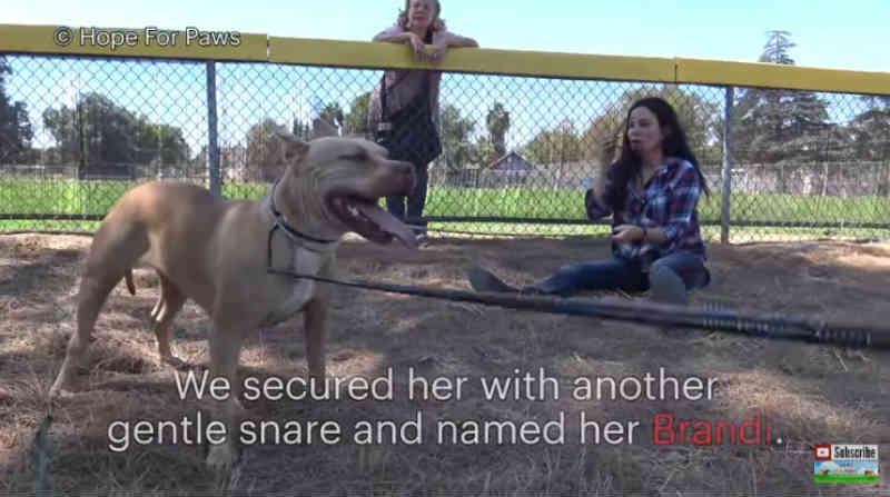 Protetores dedicados ajudam a dar uma nova vida a um pit bull desabrigado após estranhos imprevistos
