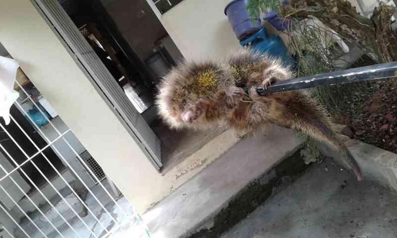 Ouriço é capturado em quintal de casa em Miracema, no RJ
