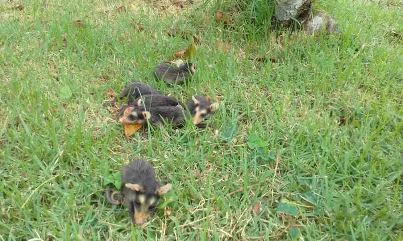 Gambá é encontrada morta e filhotes são resgatados tentando mamar no RJ