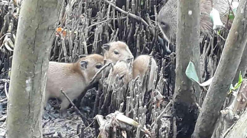 Nascimento de grupo de capivaras mostra que natureza resiste na Lagoa da Tijuca, no Rio