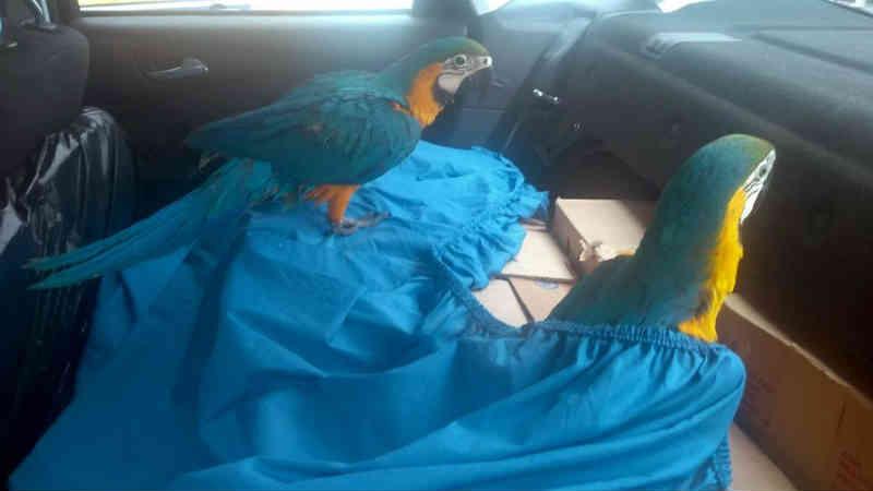 PRF prende homem com 177 aves silvestres em rodovia do RJ
