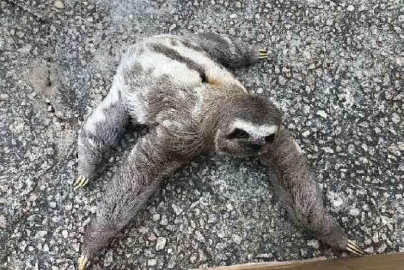 Rio: bicho-preguiça é resgatado no Recreio