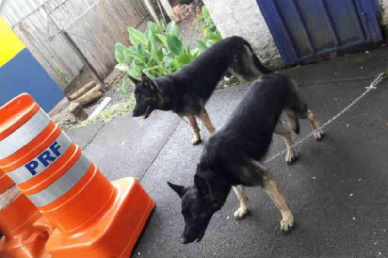 Ajuda: PRF busca tutores de cachorros encontrados na BR-116, em Caxias do Sul, RS