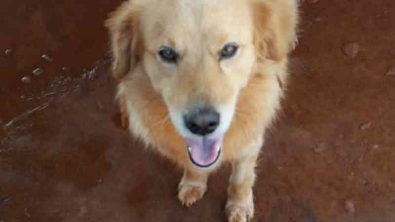 Cão que sofre com convulsões está desaparecido em Cascavel, PR