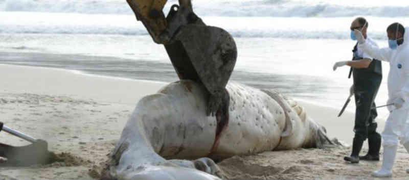 Baleira-jubarte é encontrada morta na Praia de Quatro Ilhas, em Bombinhas, SC
