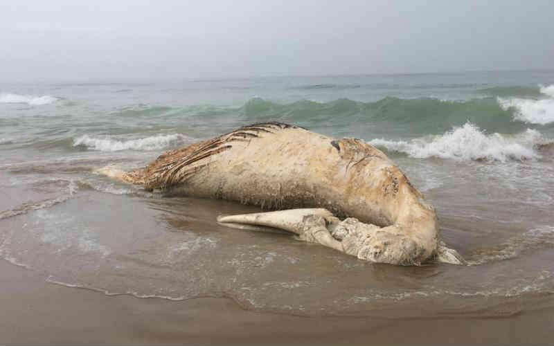 Baleia-jubarte aparece morta na Praia Brava, em Itajaí, SC