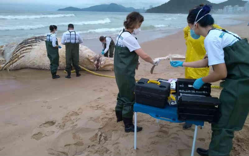 Baleia-jubarte que apareceu morta em Itajaí (SC) pode ter sido vítima da pesca