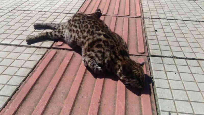 Jaguatirica é encontrada morta na SC-114 em São Joaquim, SC
