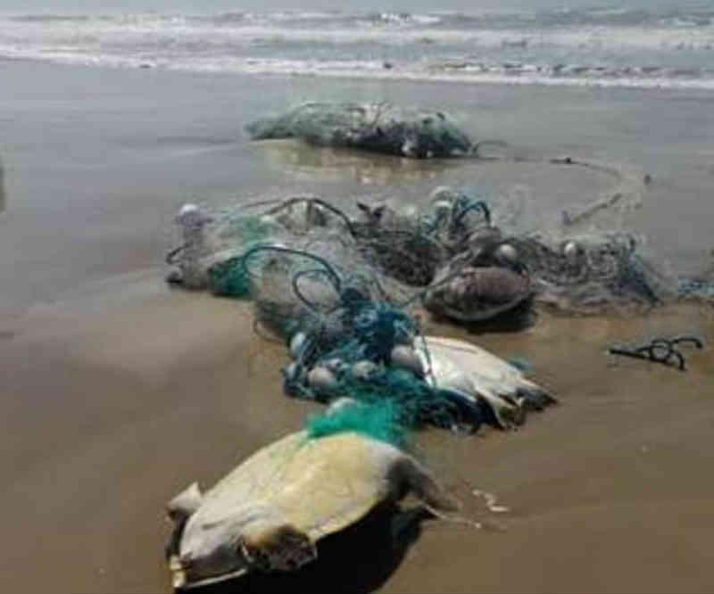Tartarugas-marinhas aparecem mortas enroladas em rede de pesca em SC