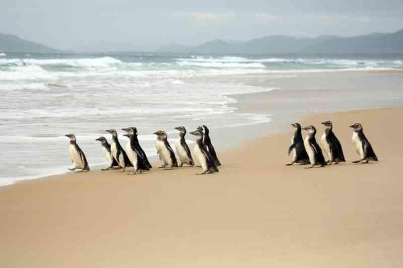 Dezenove pinguins são devolvidos ao mar na Praia de Moçambique, em Florianópolis