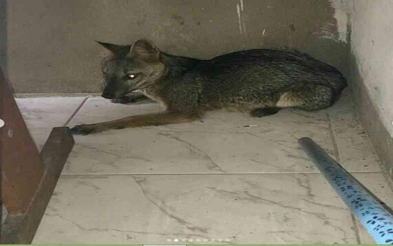 Raposa é encontrada em residência no Bairro Suissa, em Aracaju, SE