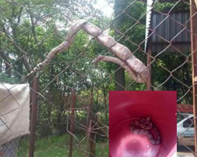 Jiboia ficou enrolada em tela de proteção no centro da cidade, em Bocaina, SP