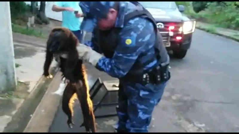 Macaco-prego é resgatado pela GCM de Botucatu, SP
