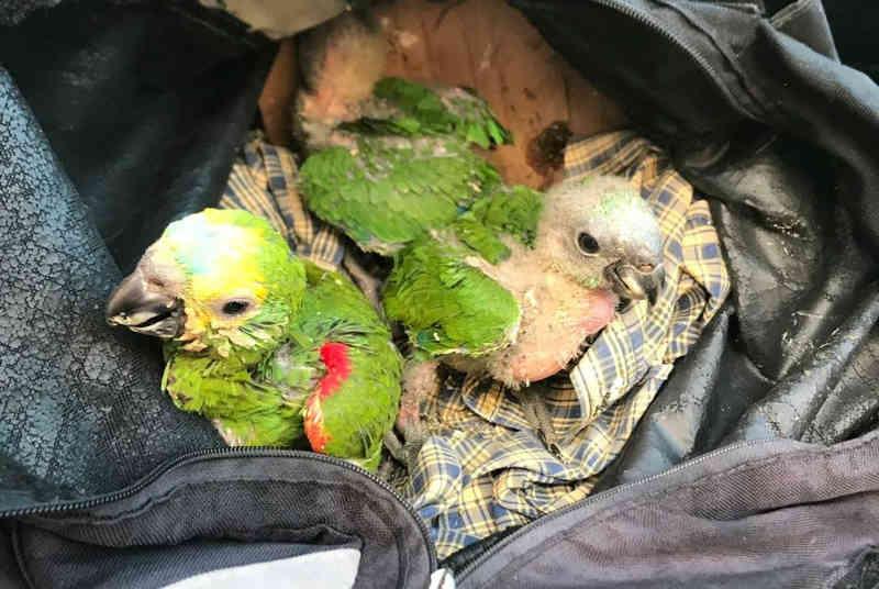 Filhotes de papagaio são achados com sinais de maus-tratos dentro de mochila no interior de SP